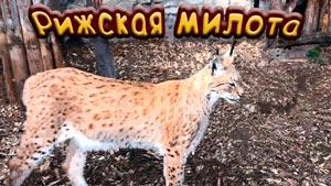 Канал BobCat Lynx Live