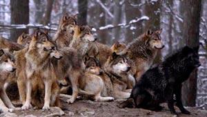 Канал Wolf Russian